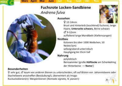 Andrena fulva – Fuchsrote Locken-Sandbiene