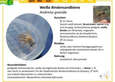 Andrena gravida – Weiße Bindensandbiene