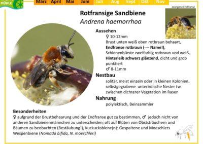 Andrena haemorrhoa – Rotfransige Sandbiene
