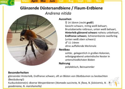 Andrena nitida – Glänzende Düstersandbiene / Flaum-Erdbiene