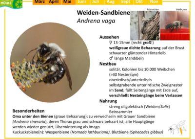 Andrena vaga – Weiden-Sandbiene