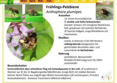 Anthophora plumipes – Frühlings-Pelzbiene
