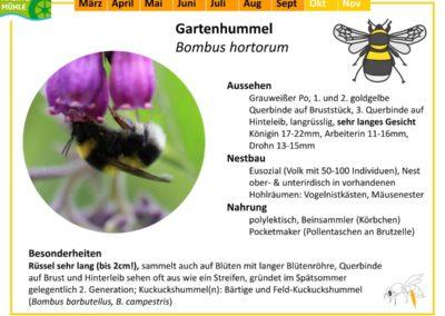 Bombus hortorum – Gartenhummel