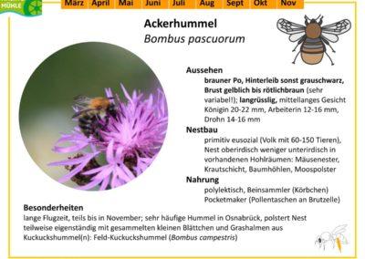 Bombus pascuorum – Ackerhummel