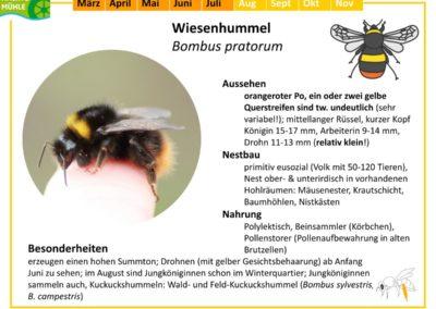 Bombus pratorum – Wiesenhummel