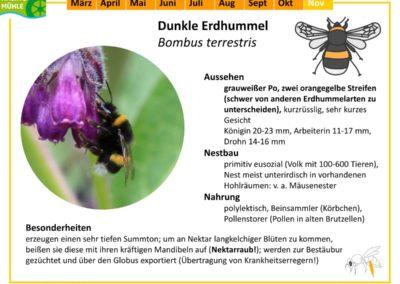 Bombus terrestris – Dunkle Erdhummel