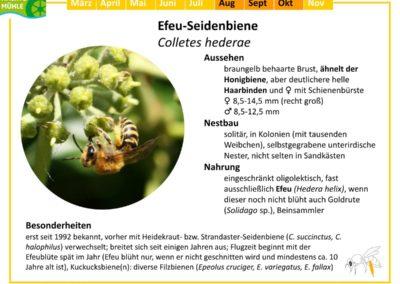 Colletes hederae – Efeu-Seidenbiene