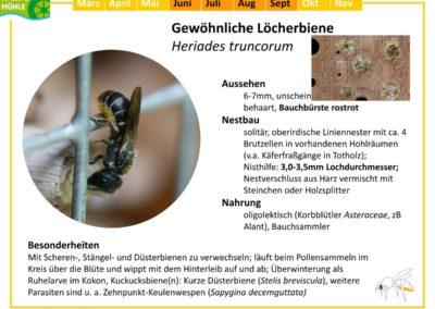 Heriades truncorum – Gewöhnliche Löcherbiene