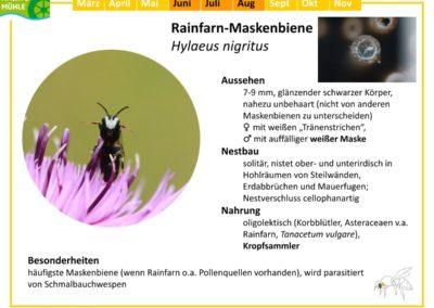 Hylaeus nigritus – Rainfarn-Maskenbiene