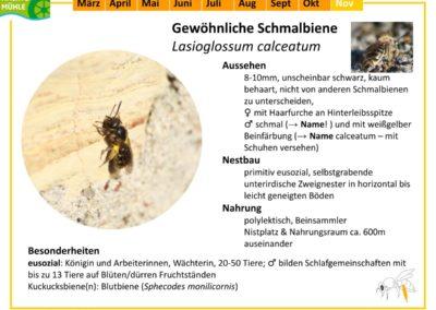 Lasioglossum calceatum – Gewöhnliche Schmalbiene