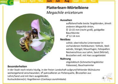 Megachile ericetorum – Platterbsen-Mörtelbiene