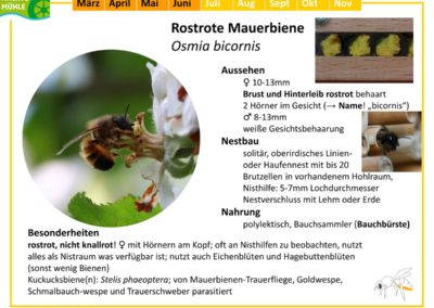 Osmia bicornis – Rostrote Mauerbiene