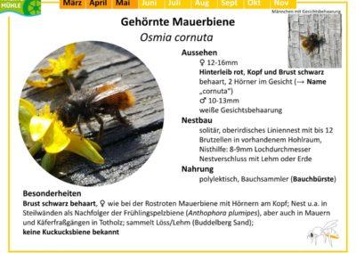 Osmia cornuta – Gehörnte Mauerbiene