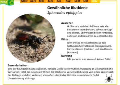 Sphecodes ephippius – Gewöhnliche Blutbiene